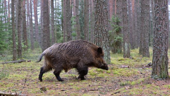 Big wild boar walking in a green forest