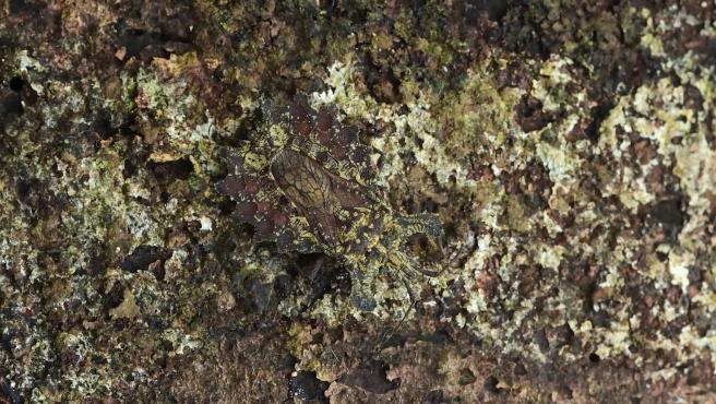 Imagen de una chinche hedionda escondida en la corteza de un árbol.