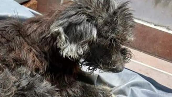 La perra tenía una grave infección causada por el pegamento.