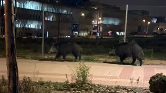Dos jabalíes han sorprendido a los vecinos del barrio de Las Tablas, en Madrid. En las imágenes, captadas desde un vehículo, se ve a dos ejemplares andando por la acera.