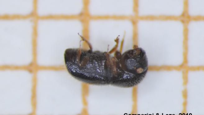 Detectada por primera vez en España una especie de escarabajo invasora