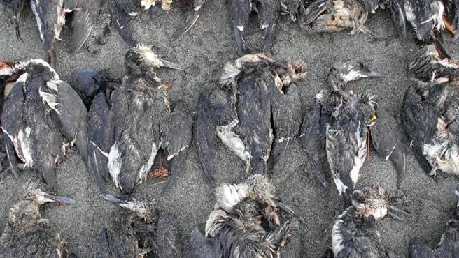 Aves muertas en una playa víctimas del fenómeno conocido como 'The Blob'.