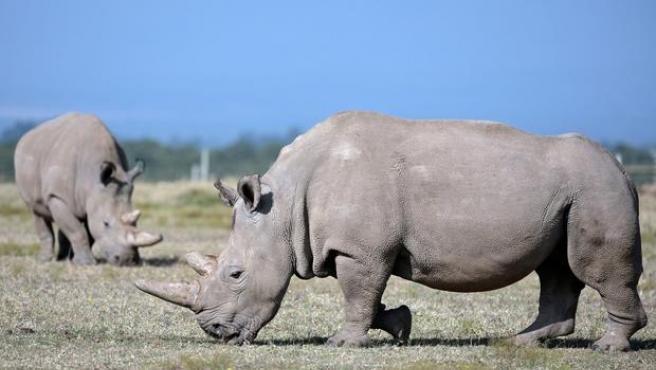 Las dos rinocerontes blancos hembras que quedan de esta subespecie.