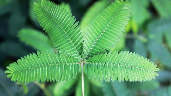 La mimosa, una de las plantas que sirven para reducir la inflamación de las estrías.