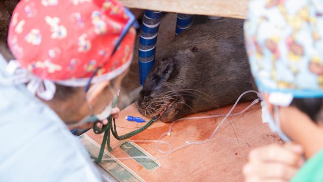 Operan con éxito a una hembra de león marino en Oasis WildLife Fuerteventura, que recupera la visión de un ojo
