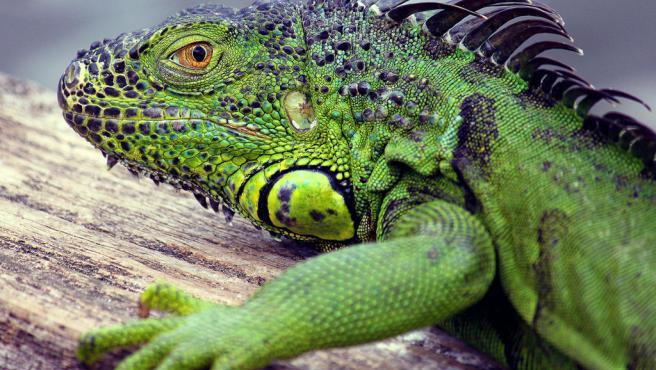 Una iguana en Florida.