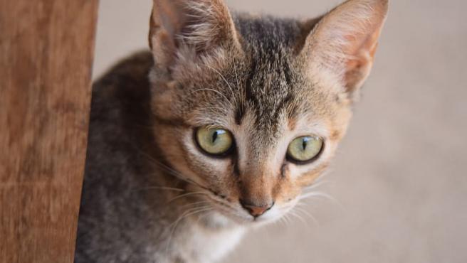 Una gata doméstica.