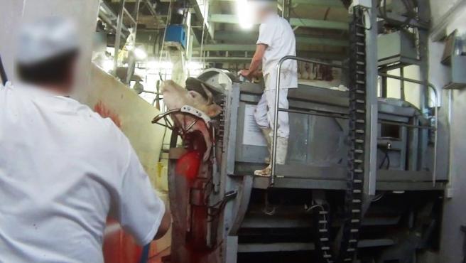 Imagen captada por un trabajador infiltrado en un matadero de Madrid.