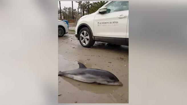 Un delfín muerto en Dénia.