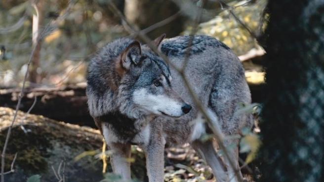 Imagen de recurso de un ejemplar de lobo en la Comunidad de Madrid.