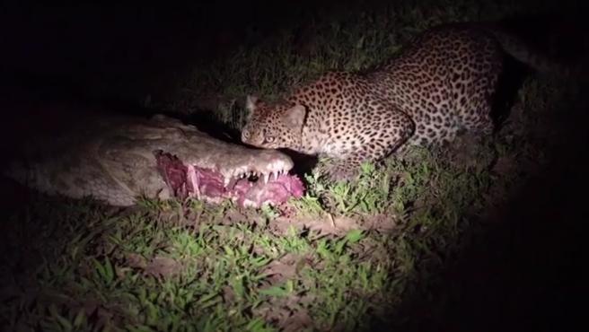 Un leopardo robándole la comida de la boca a un cocodrilo.