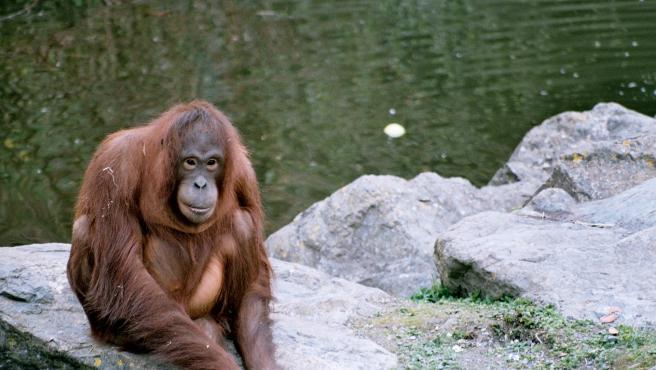 Imagen de archivo de un orangután.