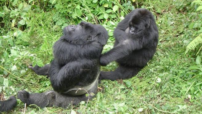 Gorilas de montaña en Ruanda.