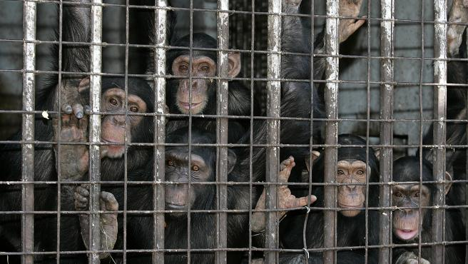 Imagen de archivo de chimpancés dentro de una jaula.