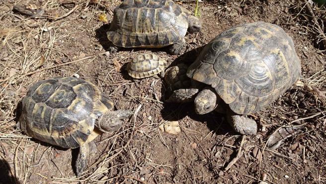 Ejemplares de tortugas moras, de archivo.