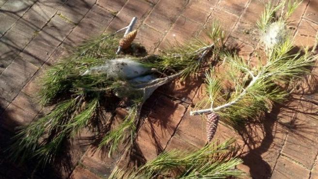 El Ayuntamiento de Huesca solicita colaboración ciudadana para detectar nidos de procesionaria.