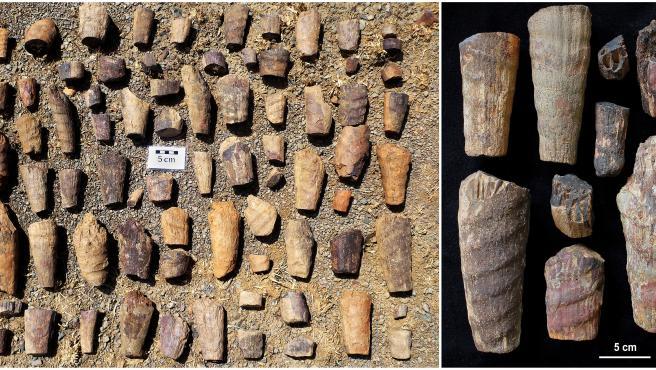 Fósiles pertenecientes al Cabaneroceras aznari'