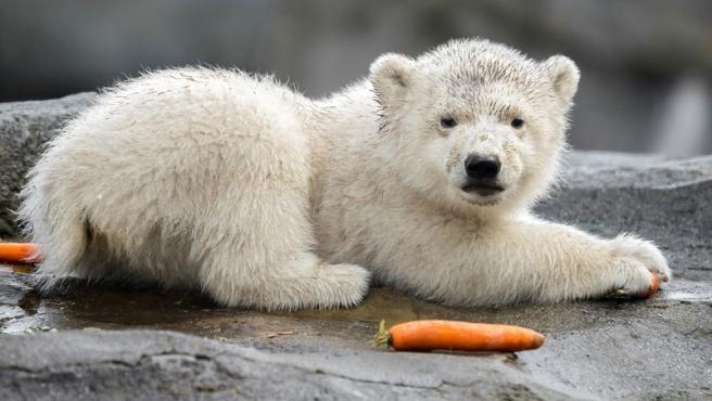 El cachorro de oso polar fue criado en la guarida por su madre, de forma natural y sin ser molestado.