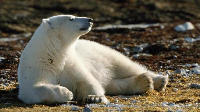 Oso polar fuera del hielo marino.