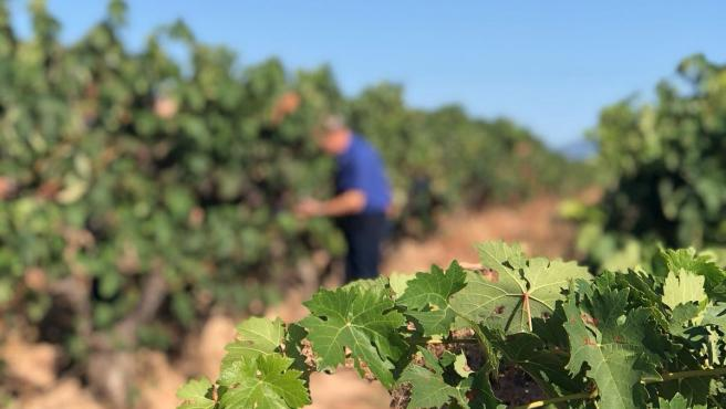 Toma de muestras en viñas de la DOC Rioja
