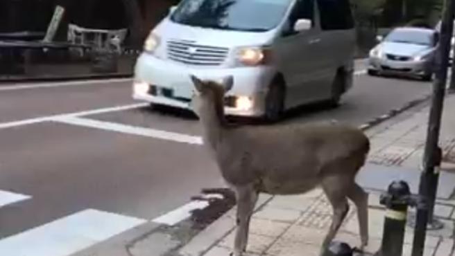 El ciervo espera para poder cruzar por el paso de peatones.