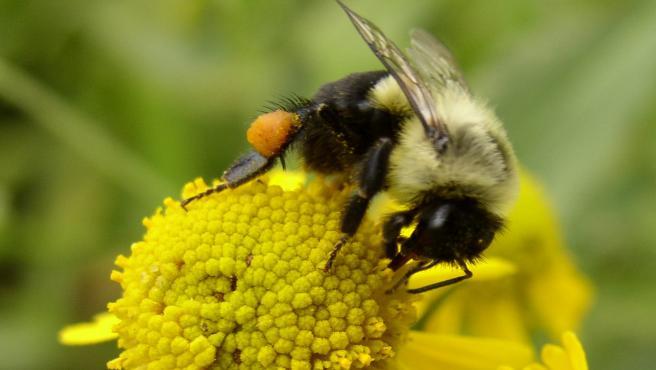Un abejorro recolecta el polen de una flor.