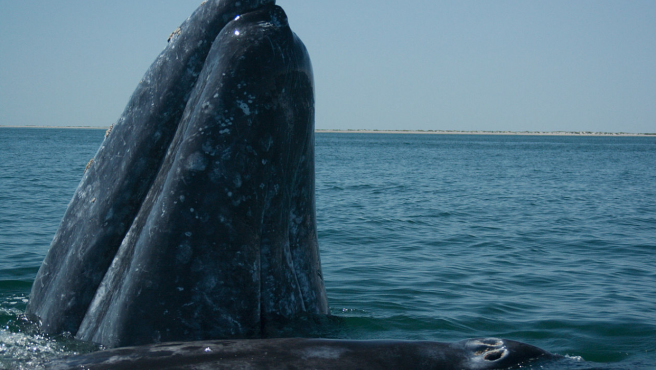 Ejemplar adulto de ballena gris.