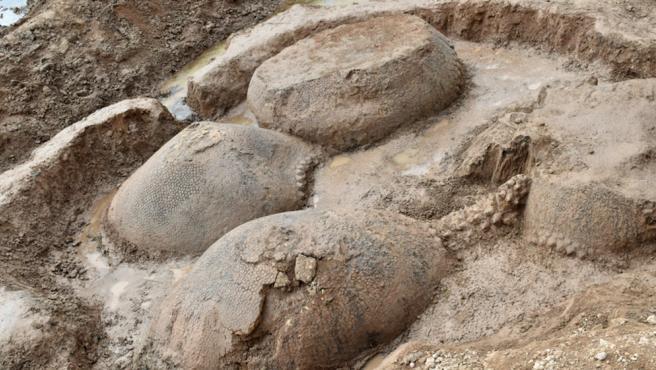 Los cuatro gliptodontes encontrados en el cauce del arroyo Vallimanca.