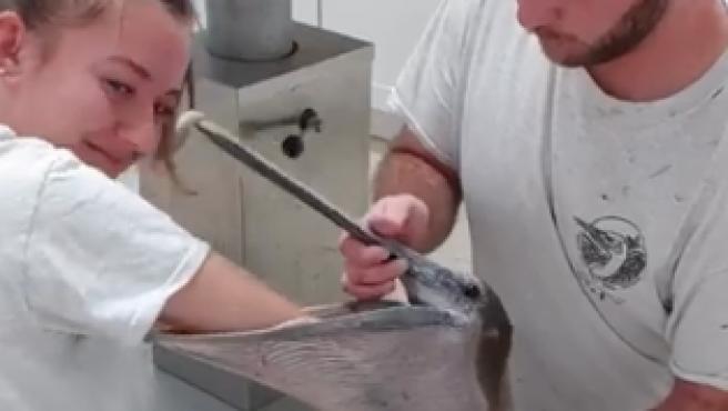 Dos trabajadores del Centro de Rehabilitación de Aves Silvestres de los Cayos de Florida (EE UU) extraen un teléfono móvil del estómago de un pelícano.