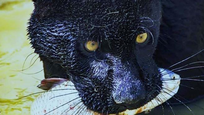 Uno de los ejemplares de jaguar de Terra Natura Benidorm.