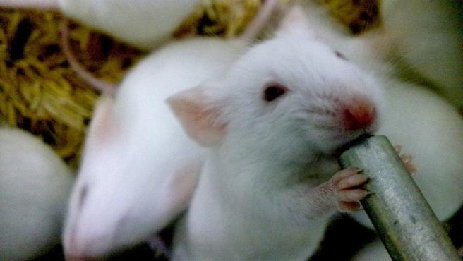 Ratón de laboratorio, ratones de laboratorio, estudio con ratones