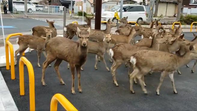 Ciervos en pleno centro de Nara, Japón.