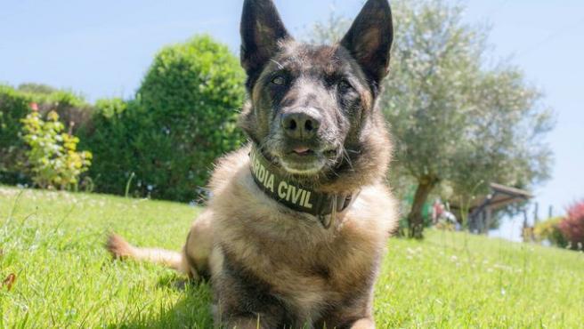 Elton, el perro de la Guardia Civil que encontró a Diana Quer.