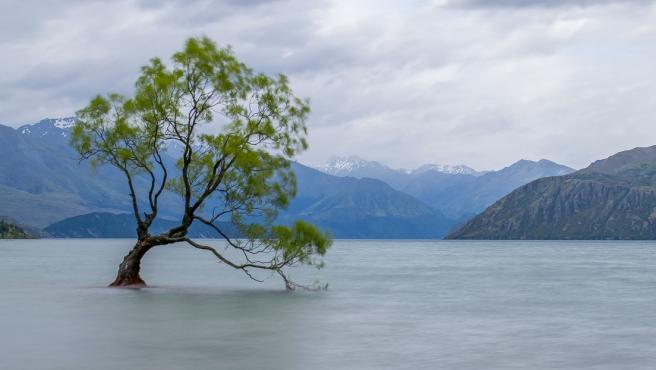 El icónico árbol Wanaka de Nueva Zelanda.