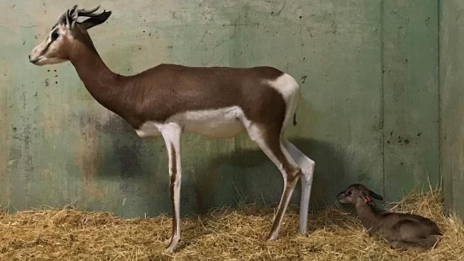 Gacela y su cría en Bioparc