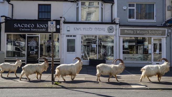 Un rebaño de cabras anda por la acera de un pueblo de Gales.