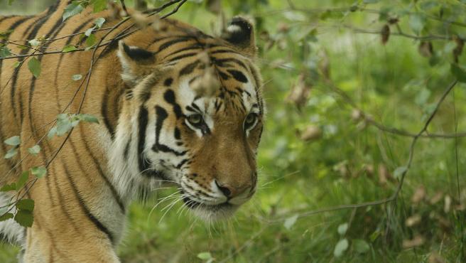 Un tigre en el zoo del Bronx, en Nueva York, en una imagen de archivo.