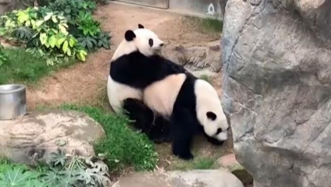 El panda gigante es una especie en peligro extinción que raramente se aparea. Ying Ying y Le Le llevan 10 años juntos en el mismo zoológico de Hong Kong y, hasta ahora no lo habían hecho nunca.