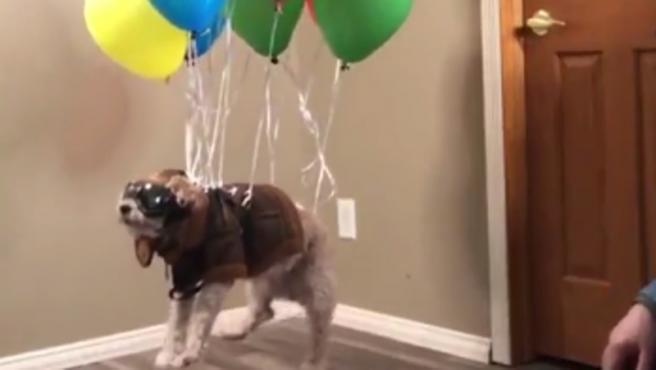 Un perro 'vuela' al más puro estilo 'Up'.