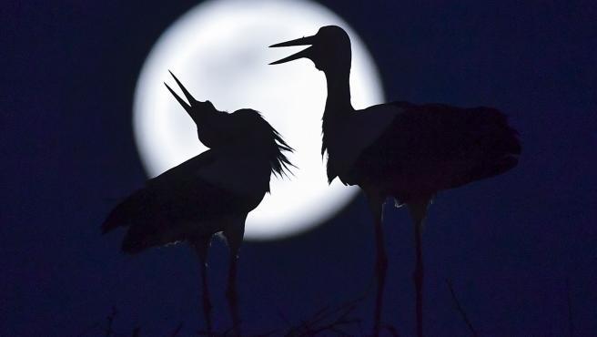 La 'luna rosa' se deja ver tras dos cigüeñas en un tejado de la localidad macedonia de Rzanicino, cerca de Skopie.