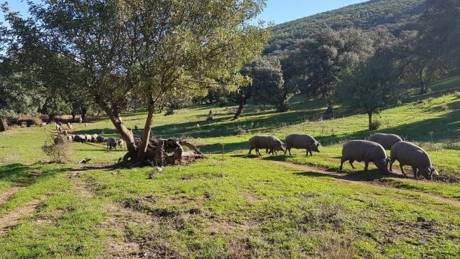 Imagen de una piara de cerdo ibérico