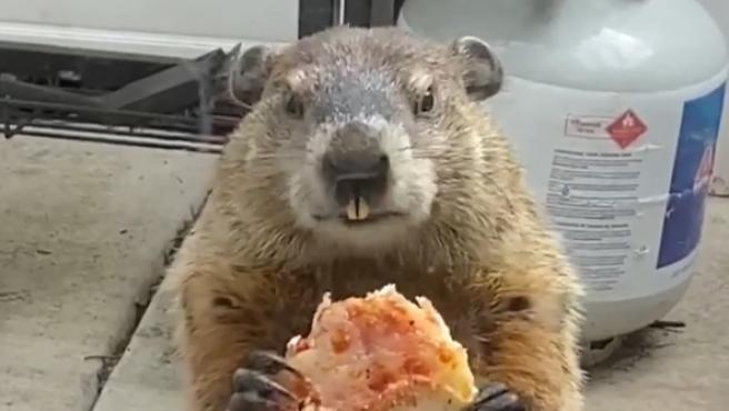 Si durante la cuarentena parece que estamos viviendo en la película El día de la marmota por repetir cada día una rutina muy similar encerrados en casa, parece que las marmotas están mucho mejor que nosotros. Y si no que se lo digan a a esta familia de Filadelfia, Estados Unidos, que encontró a uno de estos roedores en su patio trasero comiéndose un trozo de pizza que habían dejado en su basura.