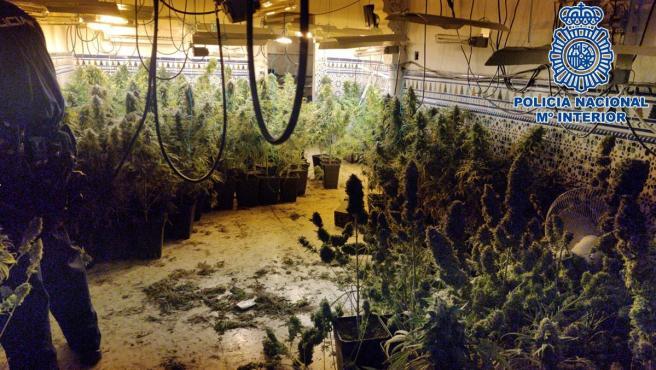 Una plantación de marihuana en Granada