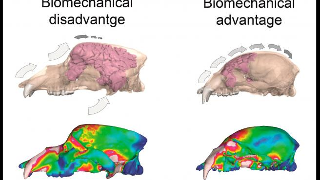 Un estudio desarrollado por investigadores del área de Paleontología de la UMA que desvela por qué se extinguieron los osos de las cavernas hace unos 24.000 años, realizado a partir de simulaciones en 3D de su mordida.