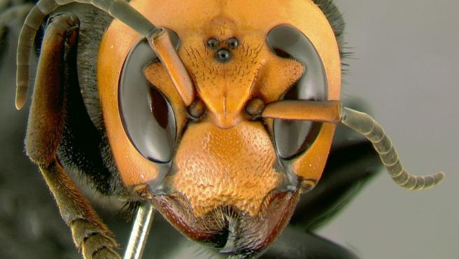 Imagen de archivo de una avispa asiática gigante .
