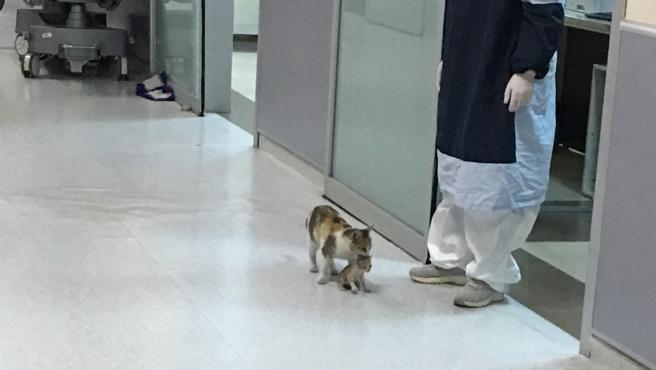 Imagen de la gatita con su cría en un hospital.
