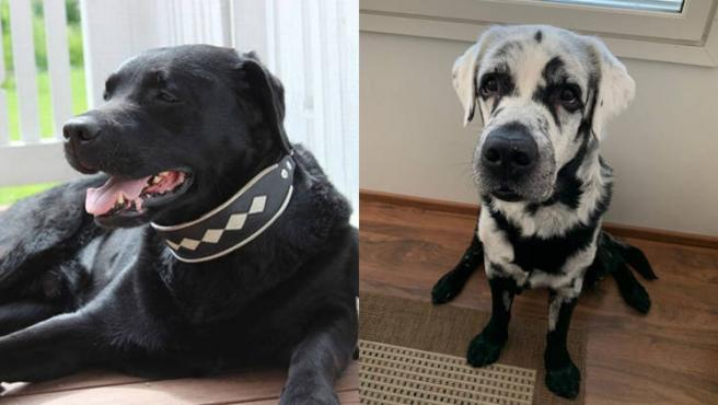 Blaze, el labrador con vitiligo.