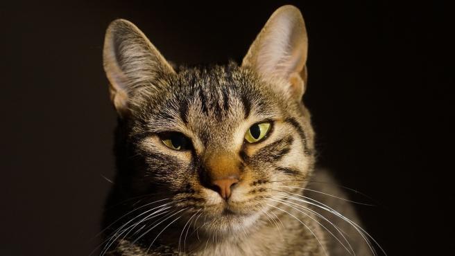 Un equipo del Centro de Investigación en Sanidad Animal (Cresa) ha detectado el primer gato infectado por coronavirus de España, el sexto en todo el mundo. El gato, de nombre 'Negrito' y que ya ha fallecido, vivía con una familia con diversas personas afectadas por la Covid-19 y padecía una enfermedad cardíaca.