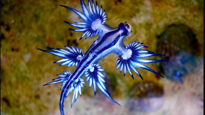 Ejemplar de dragón azul