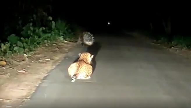 Un leopardo intentando atacar a un puercoespín.